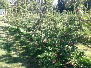 A high-density orchard near Port Townsend, WA