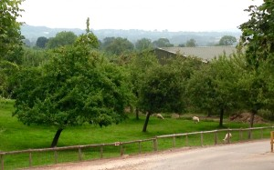 Cider apple orchard outside Hereford, England