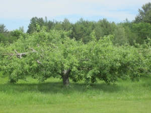 A venerable and productive apple tree