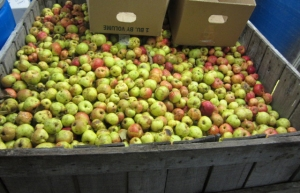 Wild apples ready for the press