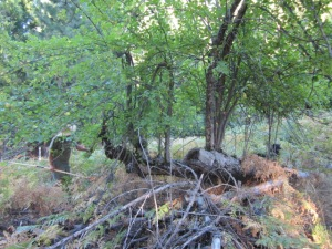Amigo evaluates a fallen yet thriving apple tree