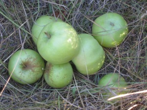 White Pippin Apples (aka Ortley)