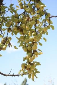 Wyken Pippin Apples